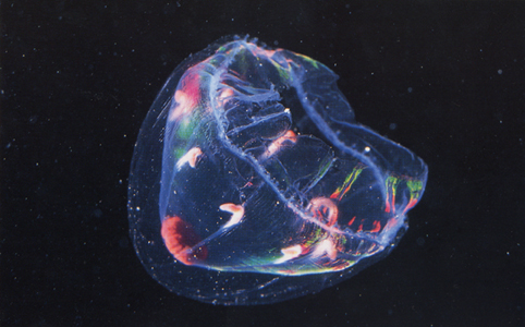 Bioluminescent Jellyfish